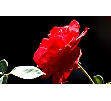 Favourite Red Rose Photographic Print