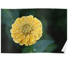 Calendula (Marigold) Poster