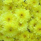 Chrysanthemum Sunny Yellow Garden Flower by dww25921