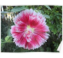 Hollyhock Flowering Pink White Garden Flower Poster