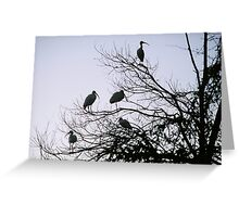 White Ibus Roost-1 Greeting Card