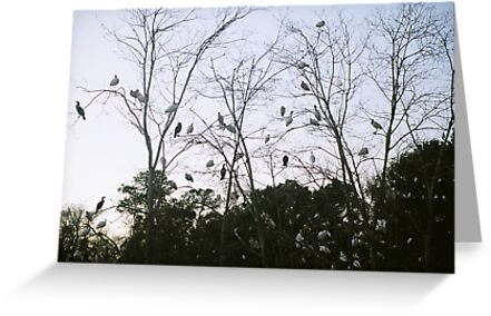White Ibus Roost-2 by James J. Ravenel, III