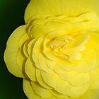 Bright Yellow Begonia by LynnMarie