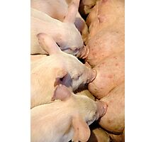 Dinner Time For Piglets Photographic Print
