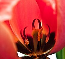 Anatomy of a Tulip: Den of Red, Fine Art Garden Photography by Megan Campbell