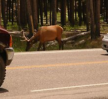 Wildlife competing with National Park Traffic by cameraperson
