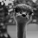 Ostrich by Abi Skeates