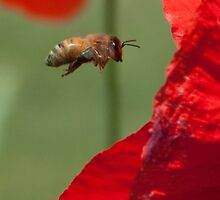 Anatomy of a Poppy: Into the Maw, fine art garden photography by Megan Campbell
