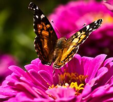 Butterfly and Pink Zinnia - fine art garden photography by Megan Campbell