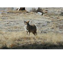 Coyote 1 Photographic Print