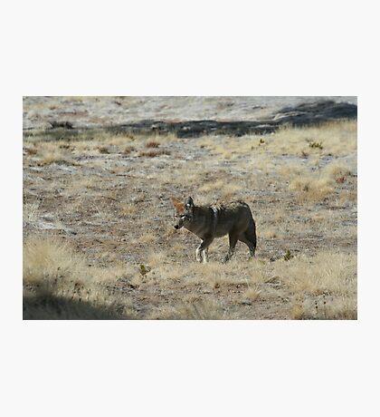 Coyote 3 Photographic Print