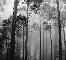 Misty forest NSW by klaartje