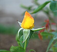 A Lakeview Rose and it's little Canadian Soldier friend by sgpjroh