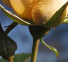 A Light Peach Colored, Crepe Textured Rose  (1430118783VA) Sticker