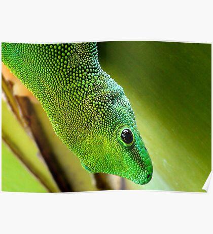 Indoor Menagerie - Gecko - Dunedin Butterfly Sanctuary Poster