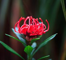 Waratah Flower, Mt Field, Tasmania by David Jamrozik