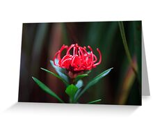 Waratah Flower, Mt Field, Tasmania Greeting Card