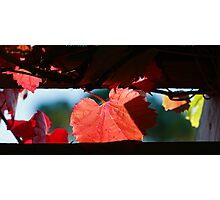 Grape Leaves In Autumn Photographic Print