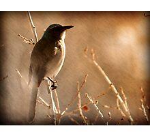 Scrub Jay - Winter Tree Photographic Print
