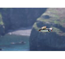Puffin on the Wing Photographic Print