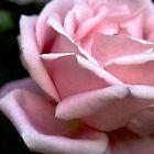 Soft Pink Rose  by Kimberly Johnson