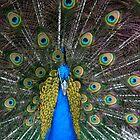 Peacock by Kimberly Johnson