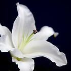 White Lilly on dark background by Rob  Ford