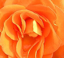 Orange Rose by Kimberly Johnson