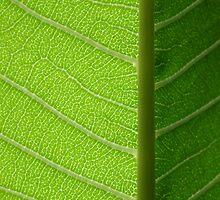 Frangipani leaf by Erica Williams
