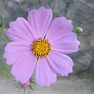 Purple Cosmos Garden Flower by dww25921