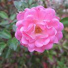 Perfect Pink Rose Garden Flower by dww25921