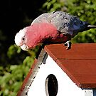 Galah by EbonyKate