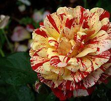 Rose 'George Burns' by Sheri Ann Richerson