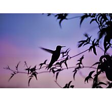 Sunset Hummingbird Photographic Print