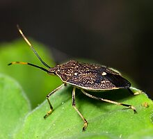 Stink Bug by Frank Yuwono