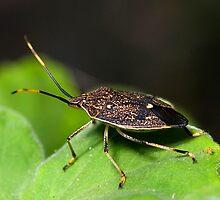 Stink Bug by Frank Yuwono