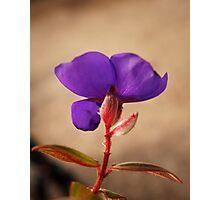Tibouchina urvilleana shrub flower photography Photographic Print