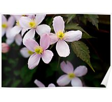 Clematis Flowers Poster