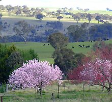 Spring Blossoms by pedroski