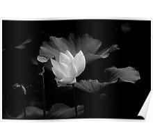 Lotus #37 Poster