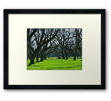 Cows Amongst the Pecan Trees Framed Print
