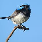 2. Superb Fairy Wren by Cecily McCarthy