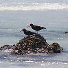 Black Oyster Catchers by Rob Mc Alister