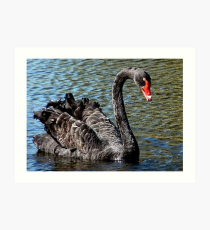 Black Beauty! - Black Swan - NZ - Southland Art Print