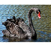 Black Beauty! - Black Swan - NZ - Southland Photographic Print