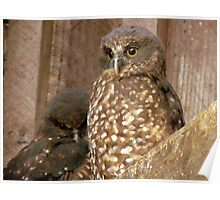 Excuse Me... Day Time Is Night Time Here... - Morepork Owl - NZ Poster