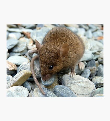 I Don't Want To Be Trout Food!!! - Mouse - NZ Photographic Print