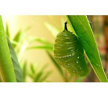 Morphed into a Chrysalis! - Monarch Chrysalis - NZ Photographic Print