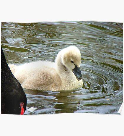 Mum...Mum.. Please Read The Ugly Duckling Story Again.. - Cygnet - Maple Glen NZ Poster
