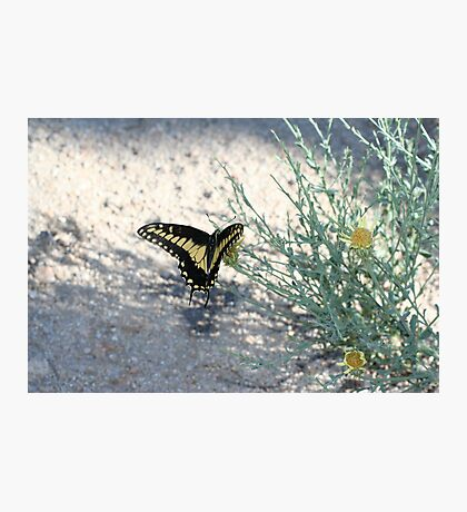 Desert Swallowtail, Mojave Preserve Photographic Print
